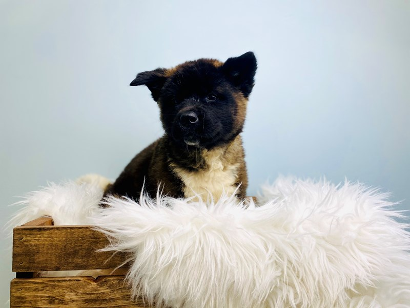 Akita-Female-Black / White-3073191-The Barking Boutique