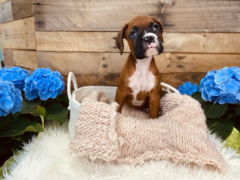 Boxer-Male-Mahogany / White-3073082-The Barking Boutique