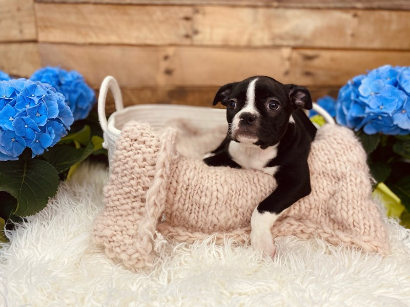 Boston Terrier-Female-Black / White-3073086-The Barking Boutique