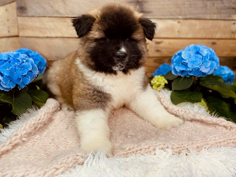 Akita-Male-Black / White-3073192-The Barking Boutique