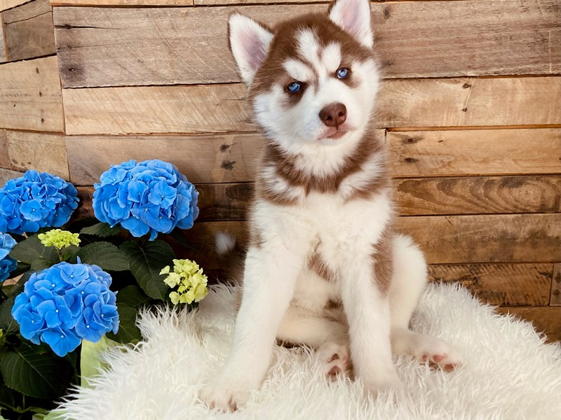 Siberian Husky – Lilly