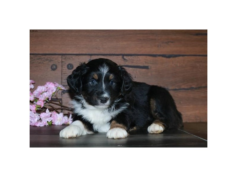 Australian Shepherd-Male-Tri-Colored-3084008-The Barking Boutique