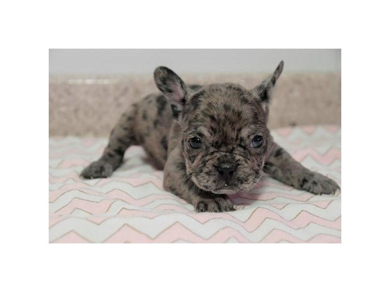 French Bulldog-Female-Blue Merle-3084011-The Barking Boutique