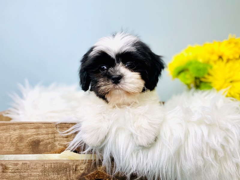 Shih Tzu-Male-Black / White-3084267-The Barking Boutique