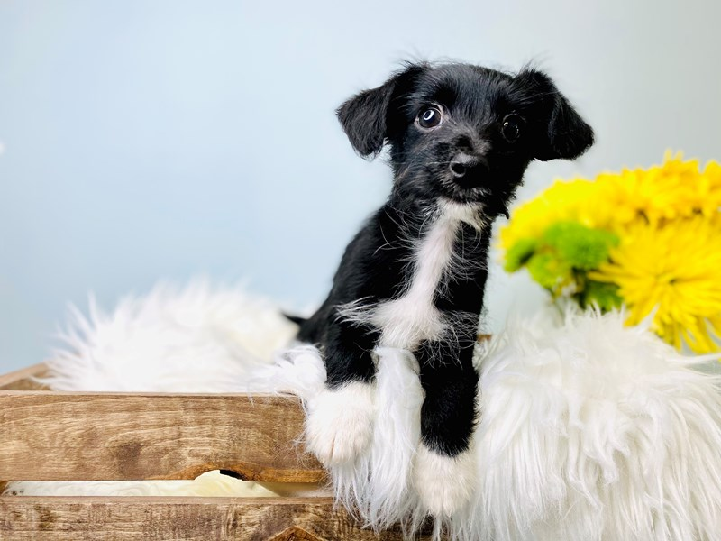Yorkiepoo-Male-Black-3081055-The Barking Boutique