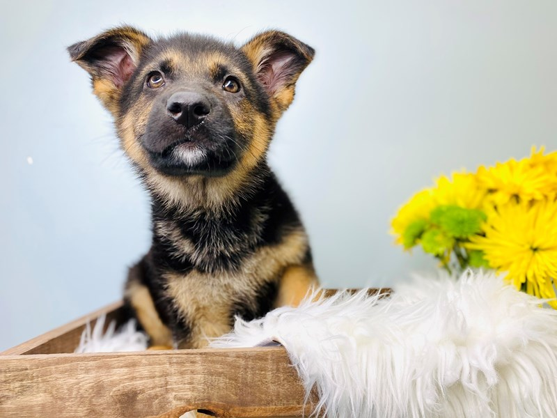 German Shepherd-Male-Blk & Tan-3081115-The Barking Boutique