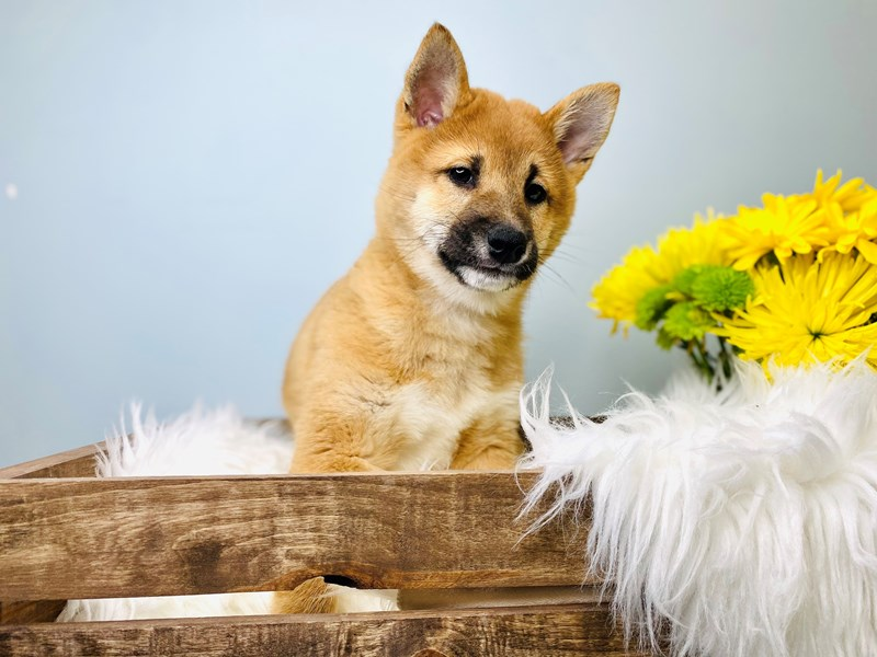 Shiba Inu-Male-Red-3084028-The Barking Boutique