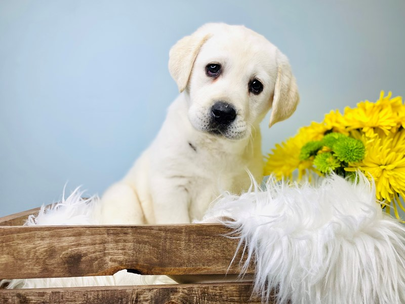 Labrador Retriever-Male-Cream-3081105-The Barking Boutique