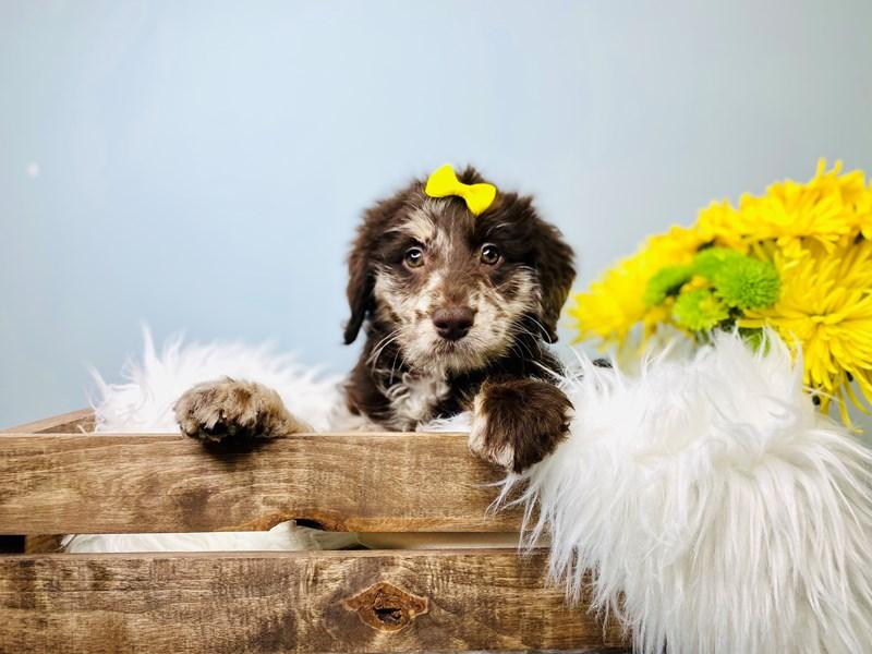 Mini Labradoodle-Female-Black & Gry w/Blk msk-3081076-The Barking Boutique