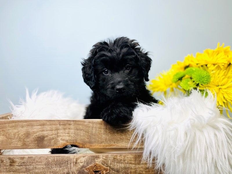 Mini Labradoodle-Male-Black W/Blk pts-3081066-The Barking Boutique