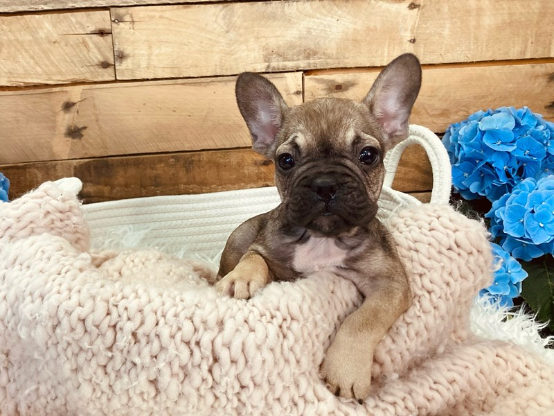 French Bulldog-Male-Red Fawn-3084012-The Barking Boutique
