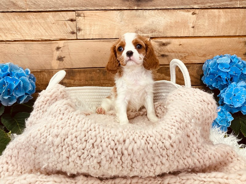 Cavalier King Charles Spaniel-Female-Blenheim-3084022-The Barking Boutique