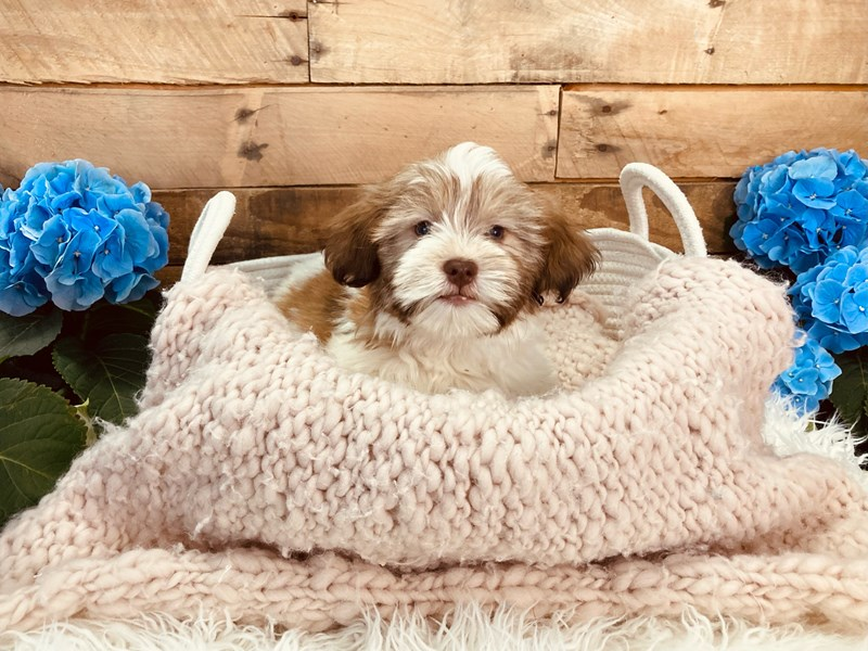Havanese-Male-White / Brown-3084001-The Barking Boutique