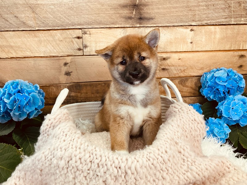 Shiba Inu-Male-Red-3084252-The Barking Boutique