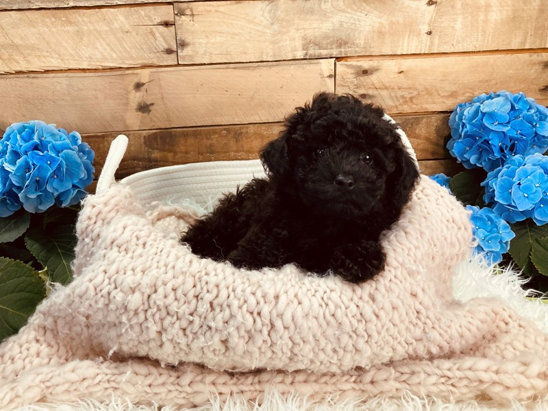 Poodle-Male-Black-3084269-The Barking Boutique
