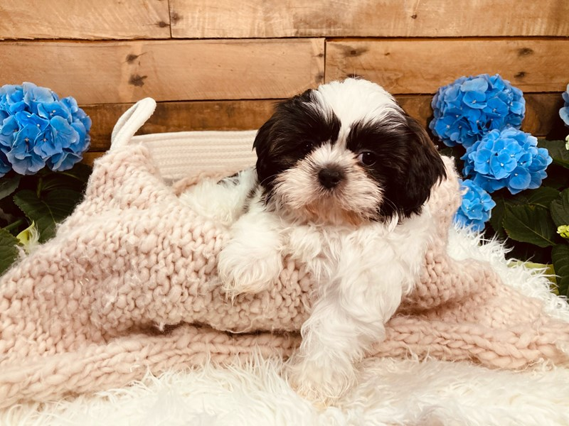 Shih Tzu-Female-Brindle / White-3084266-The Barking Boutique