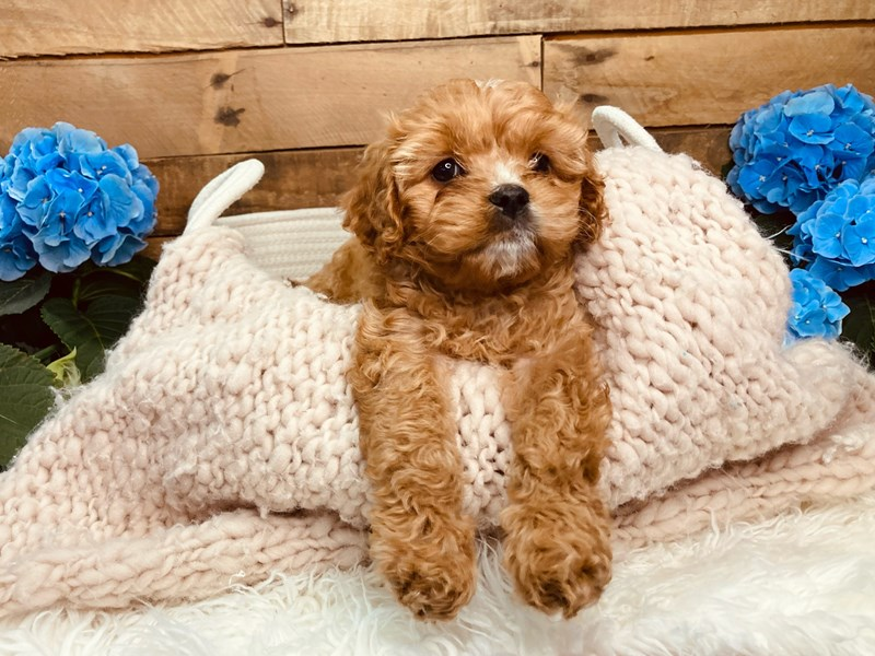 Cavapoo-Female-Red / White-3084034-The Barking Boutique