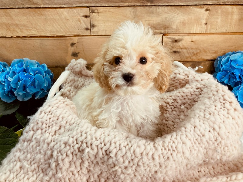 Cavachon-Male-Cream / White-3084027-The Barking Boutique