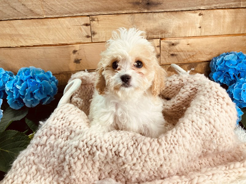 Cavachon-Female-Cream / White-3084025-The Barking Boutique