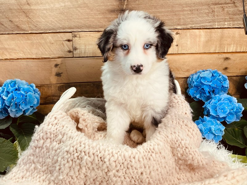 Australian Shepherd-Male-Blue Merle-3084006-The Barking Boutique