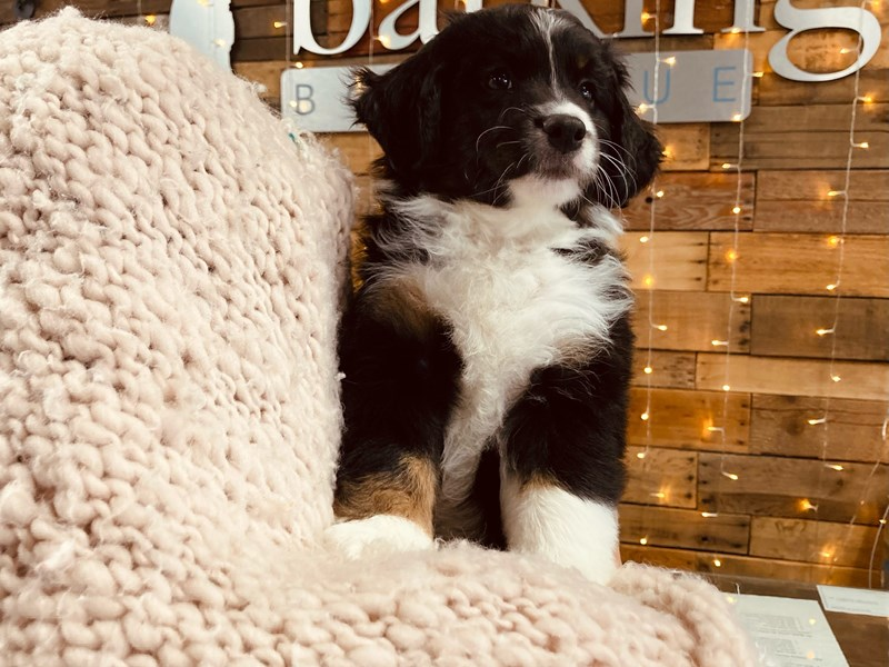 Australian Shepherd-Male-Tri-Colored-3084009-The Barking Boutique