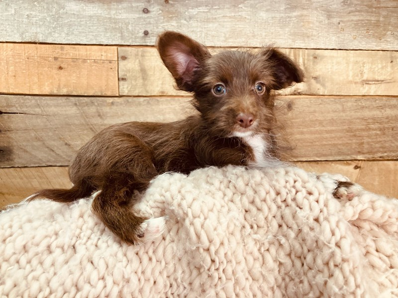 Yorkiepoo-Male-Brown-3080694-The Barking Boutique