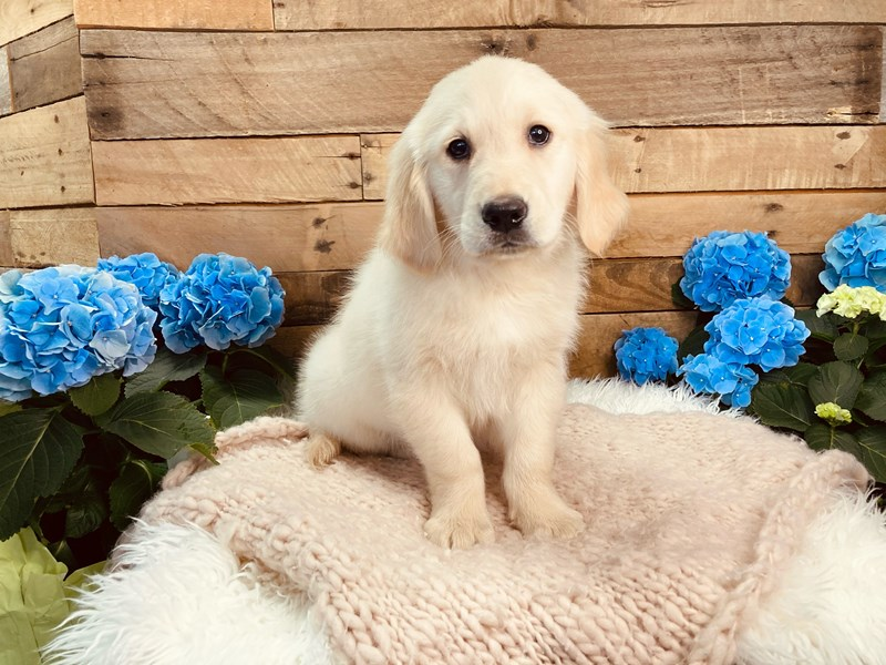 Golden Retriever-Male-Light Golden-3084014-The Barking Boutique