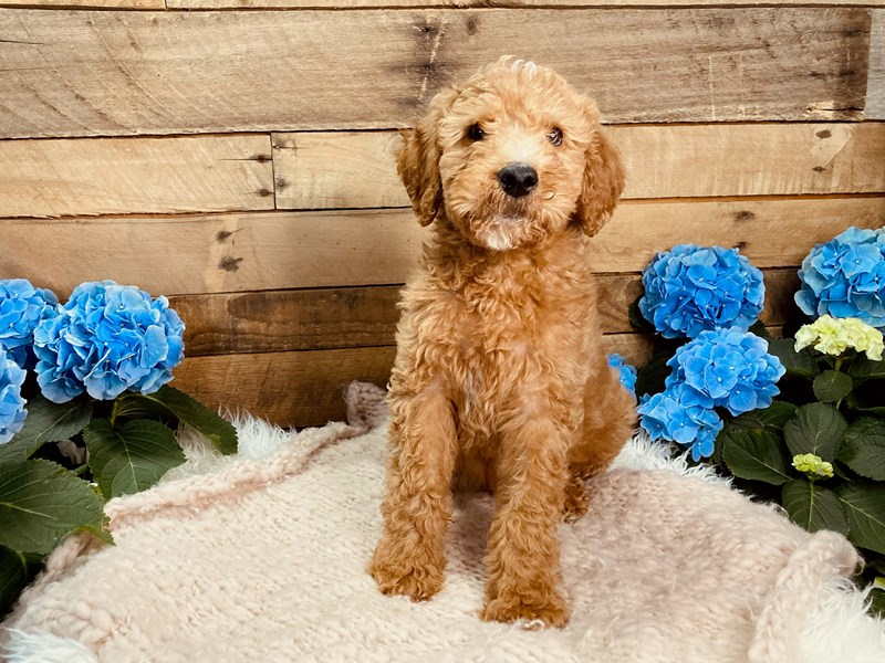 F1B Goldendoodle-Male--3080267-The Barking Boutique