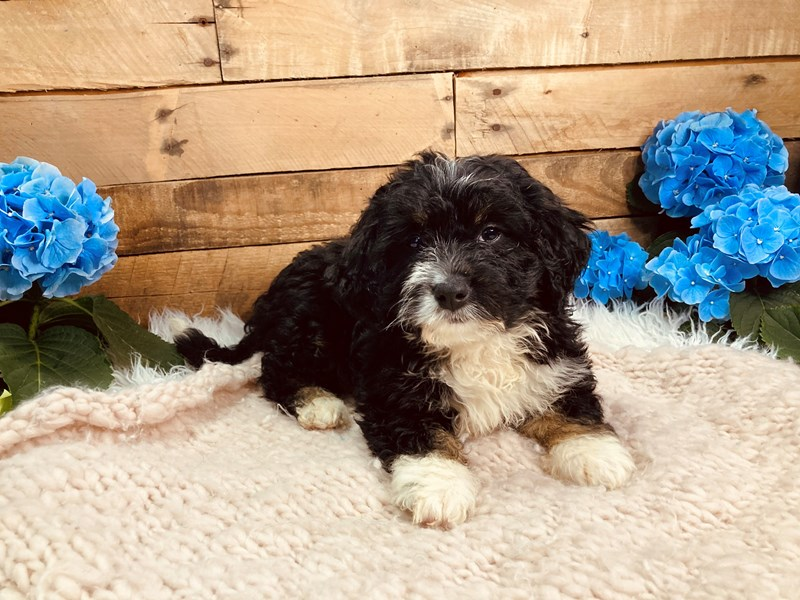 Mini Bernadoodle-Male-Black Tri-color-3080660-The Barking Boutique