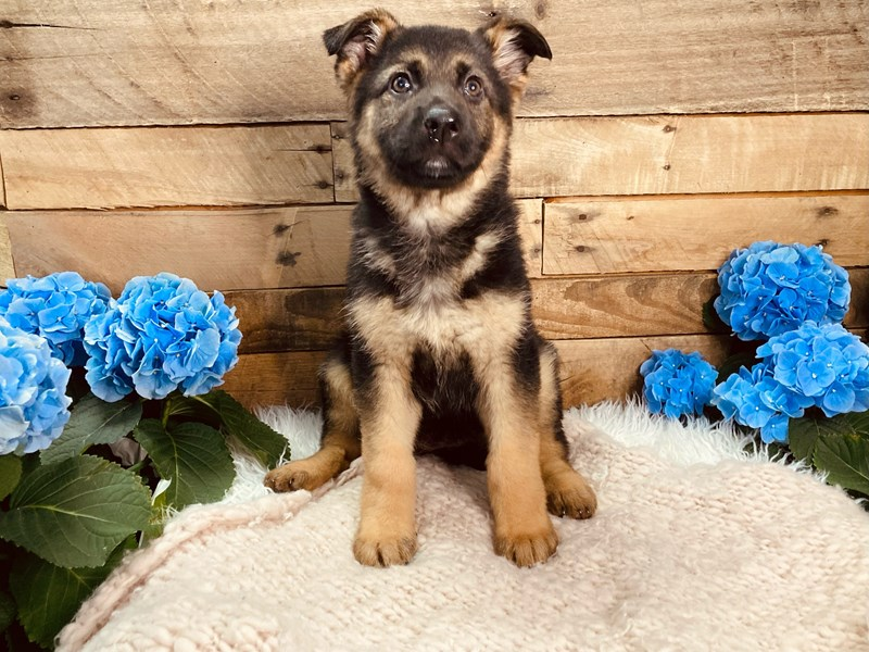 German Shepherd-Female-Black and Tan-3080196-The Barking Boutique