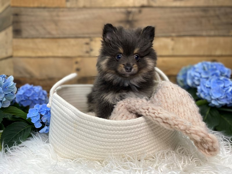 Pomeranian-Male--3090825-The Barking Boutique