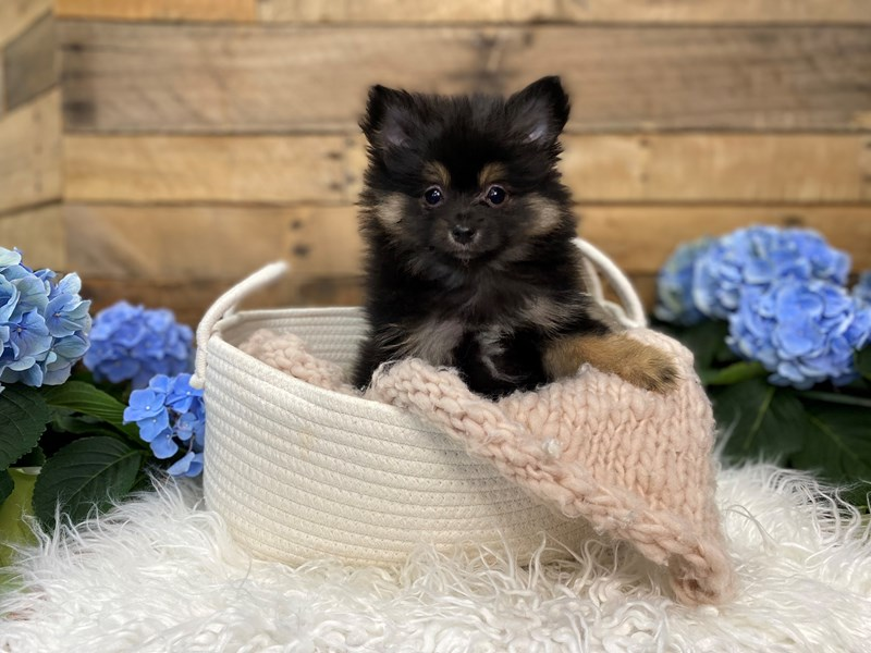 Pomeranian-Female--3090829-The Barking Boutique