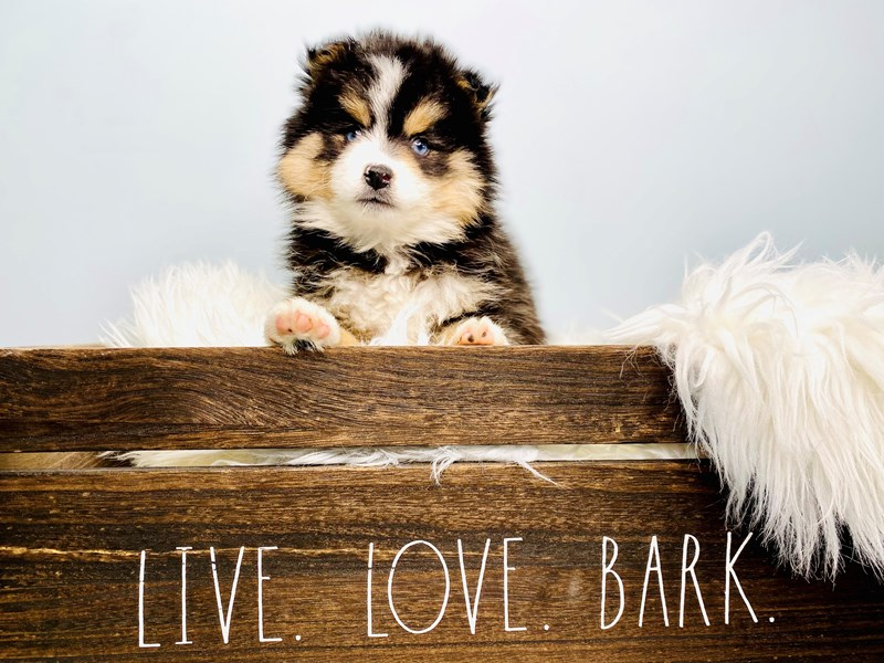 Pomsky 2nd Gen-Male-Black / White-3094775-The Barking Boutique
