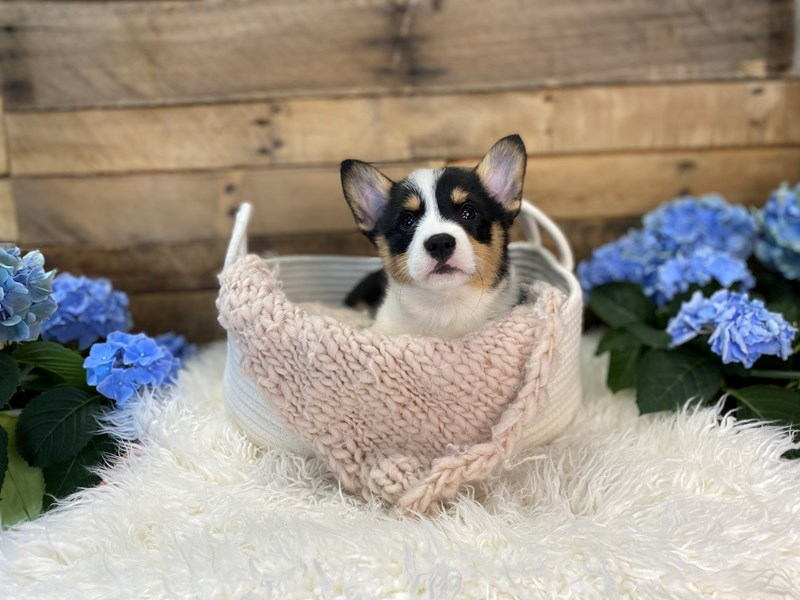 Pembroke Welsh Corgi-Female-Tri-Colored-3094772-The Barking Boutique