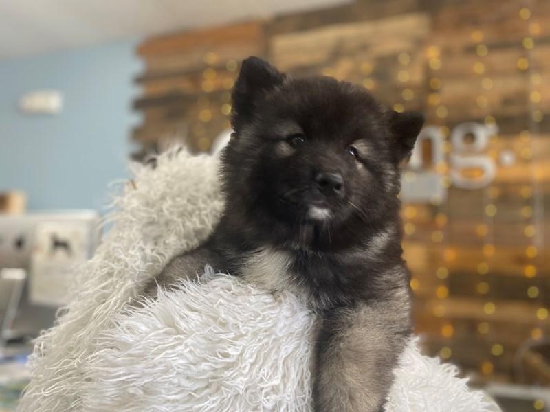 Keeshond/Siberian Husky