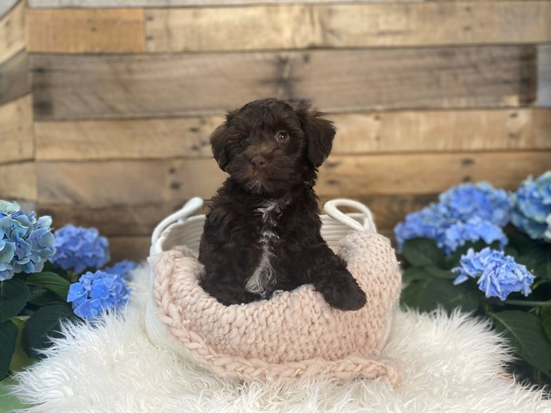 Schnoodle-Male-Chocolate-3094769-The Barking Boutique
