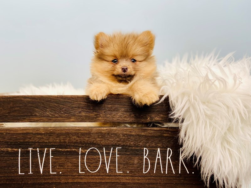 Pomeranian-Male-Blue Fawn-3102191-The Barking Boutique