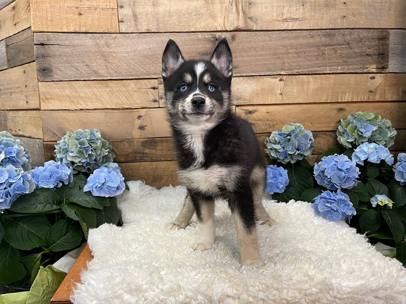 Pomsky 2nd Gen-Female-Black and white-3102111-The Barking Boutique