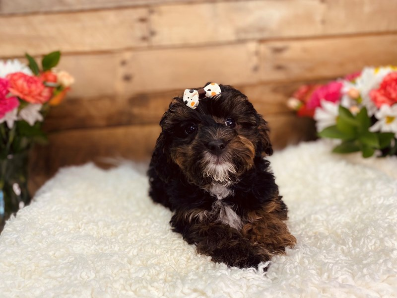Yorkie/Poodle-Female-Tri-Colored-3106232-The Barking Boutique