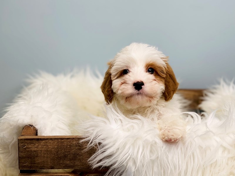 Cavapoo-Male-Brown & White-3069749-The Barking Boutique