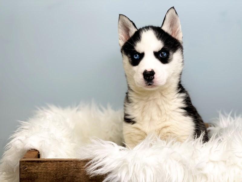 Siberian Husky – Lemon