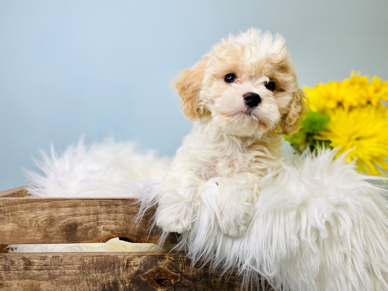 Cavachon-Male-Cream / White-3084024-The Barking Boutique