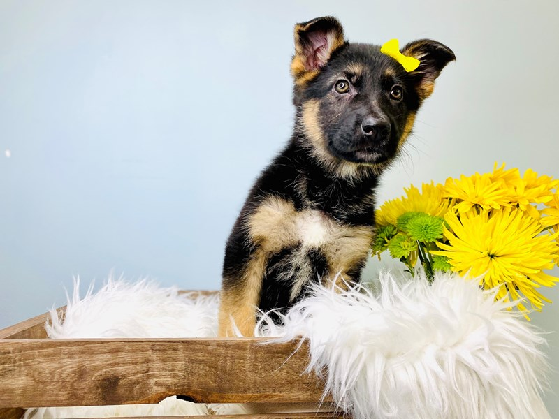 German Shepherd-Female-Blk & Tan-3081129-The Barking Boutique