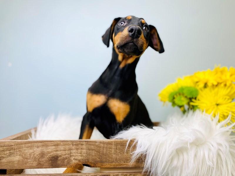 Doberman Pinscher-Female-Black & Tan-3081080-The Barking Boutique