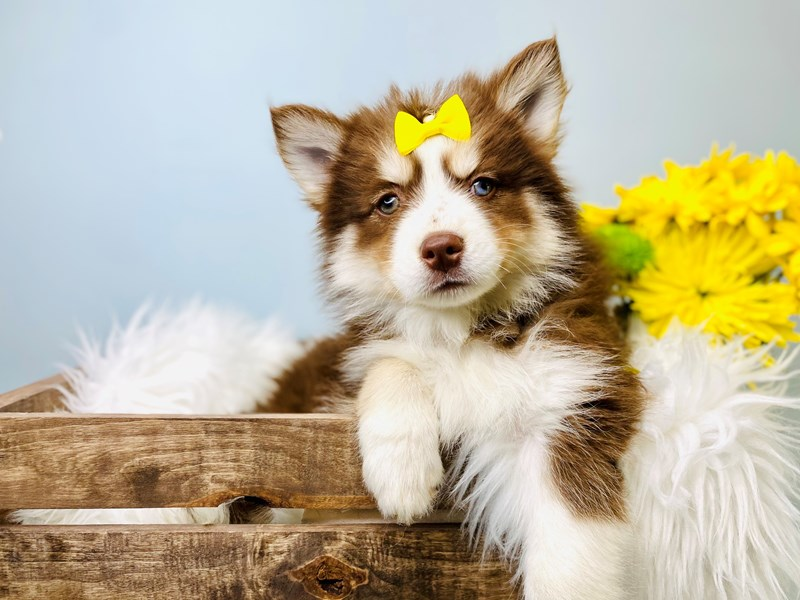 Pomsky-Female-Chocolate / White-3084029-The Barking Boutique