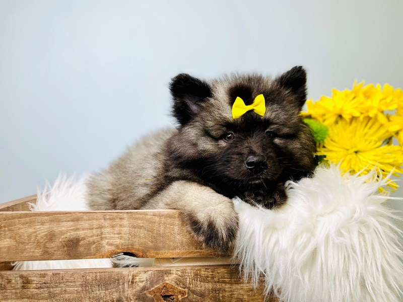 Keeshond-Female-Black / Silver-3084015-The Barking Boutique