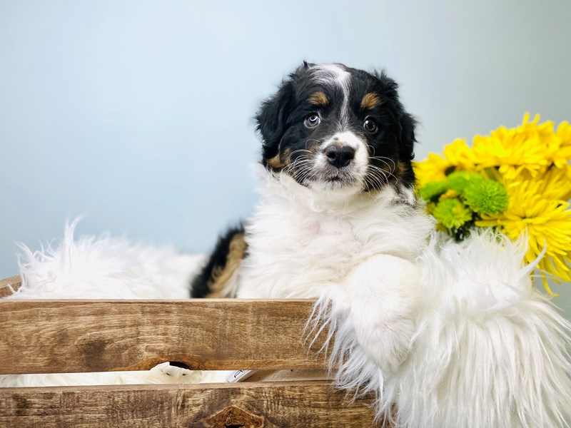 Australian Shepherd-Female-Tri-Colored-3084007-The Barking Boutique