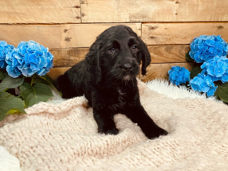 Mini Labradoodle-Female--3080709-The Barking Boutique