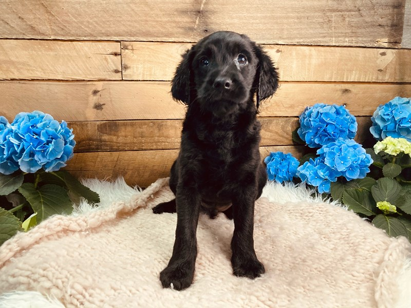 Mini Labradoodle-Male--3080705-The Barking Boutique