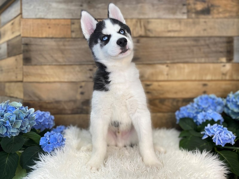 Siberian Husky-Male-Black / White-3094765-The Barking Boutique